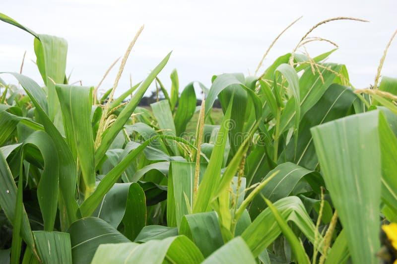 Tiges de maïs image stock