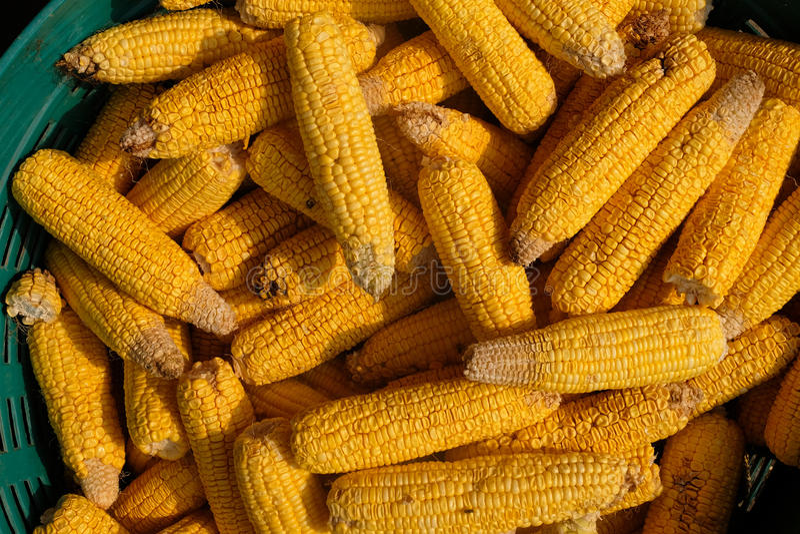 Tiges de maïs photos stock