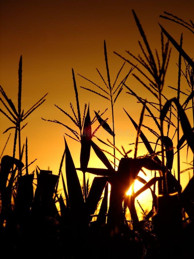 Tiges de maïs contre le soleil de configuration image libre de droits