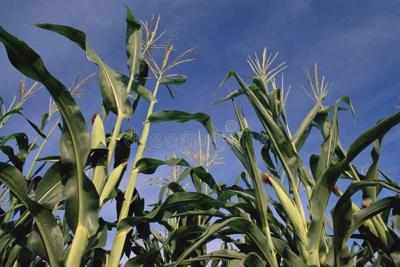 Tiges de maïs de dessous images libres de droits