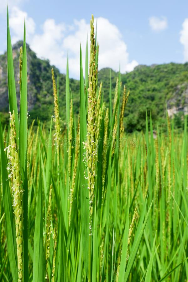 Tiges de riz image stock