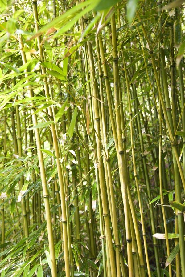Tiges en bambou. photographie stock libre de droits