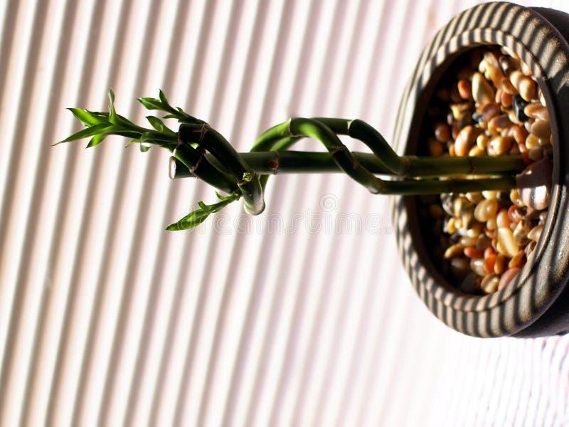Tiges en bambou s'élevant dans le bac d'argile au soleil. images libres de droits