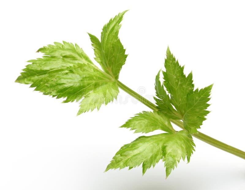 Tiges et feuilles fraîches de céleri images stock