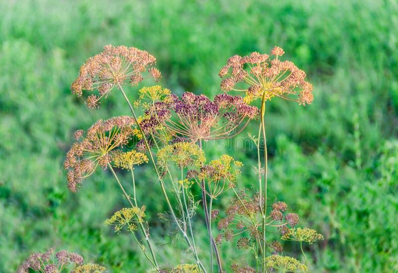 Tiges et inflorescence d'umbel d'aneth sur le fond brouillé photos stock