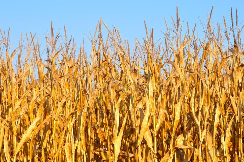 Tiges jaunes d'or de maïs images libres de droits
