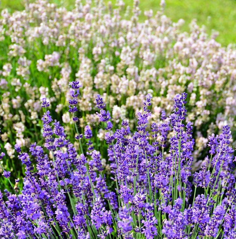 Download Tiges Pourpres De Fleur De Lavande, Place Blanche I De Fond De  Lavande Photo