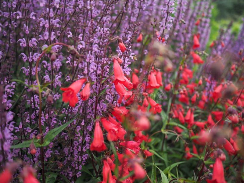 Tiges pourpres de fleur, Salvia Serenade, avec des fuschias rouges photographie stock libre de droits
