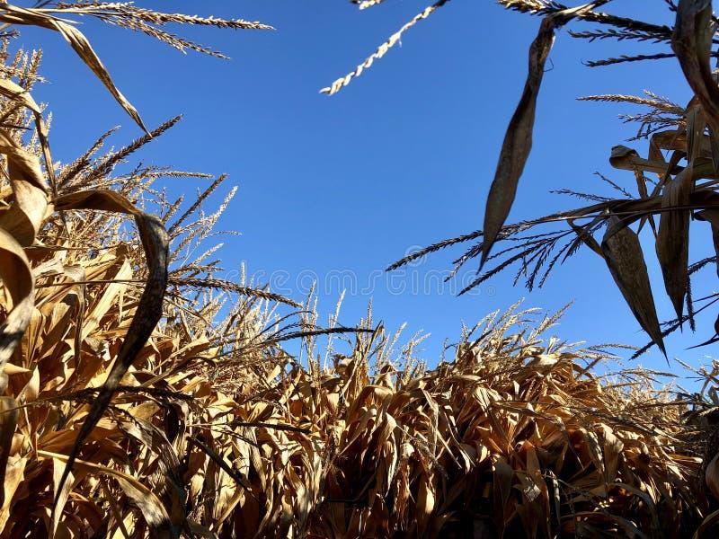 Tiges sèches de maïs sous le ciel bleu photo stock