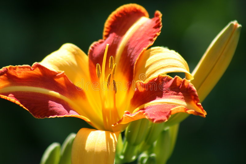 Tiget Lilly. Yellow and Orange Stripped Tiger Lilly royalty free stock images