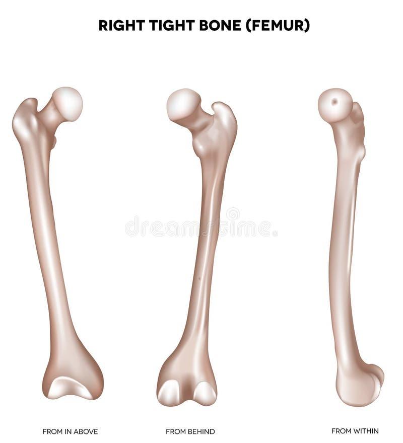 Free Tight Bone- Femur Stock Photos - 31242053