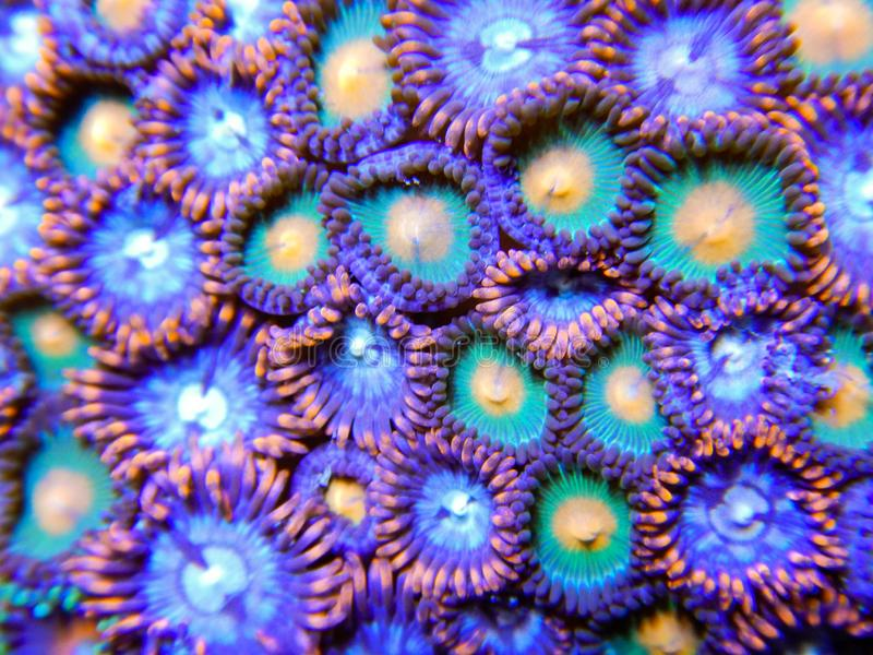 Green yellow and red zoanthid soft corals royalty free stock image