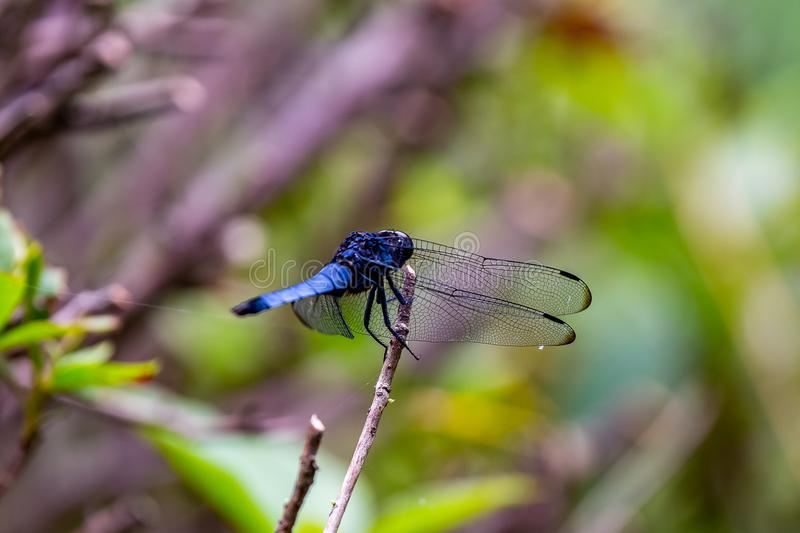 A tight macro shot of a Japanese blue dragonfly royalty free stock images