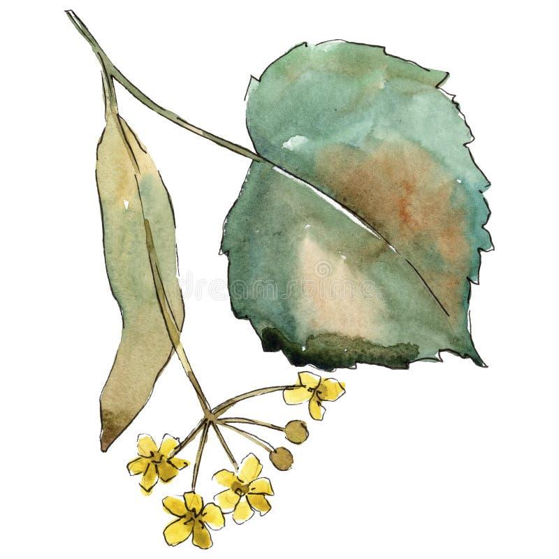 Tiglio delle foglie verdi Fogliame floreale del giardino botanico della pianta della foglia Elemento isolato dell'illustrazione royalty illustrazione gratis