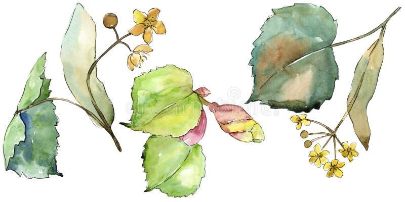 Tiglio delle foglie verdi Fogliame floreale del giardino botanico della pianta della foglia Elemento isolato dell'illustrazione illustrazione vettoriale