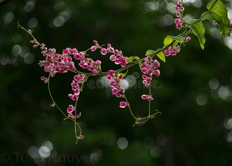 Tigon blommor - Antigonon leptopus fotografering för bildbyråer