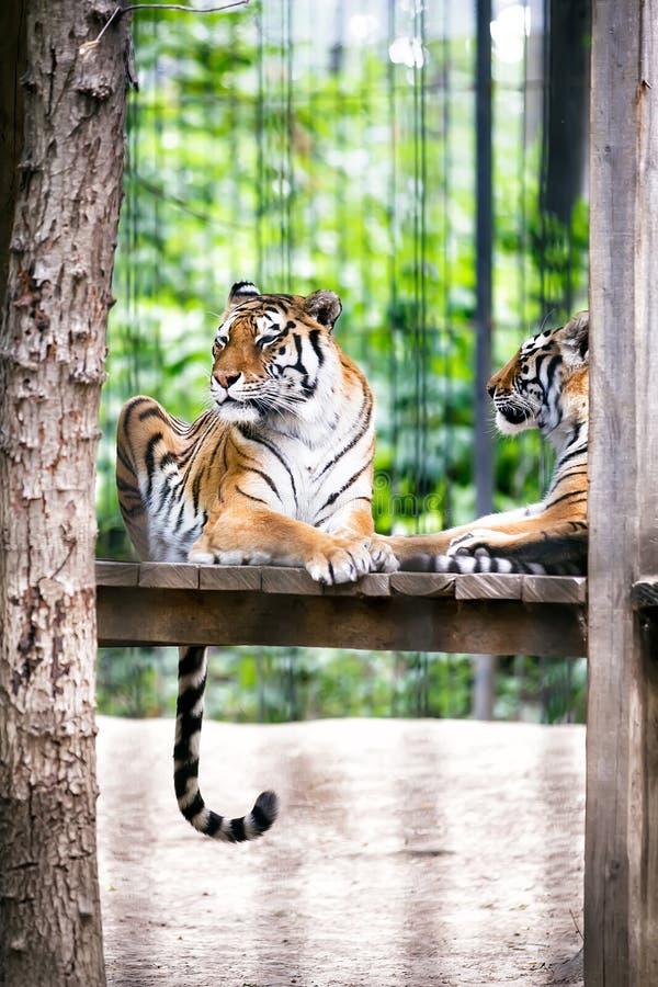 tigrar arkivfoton