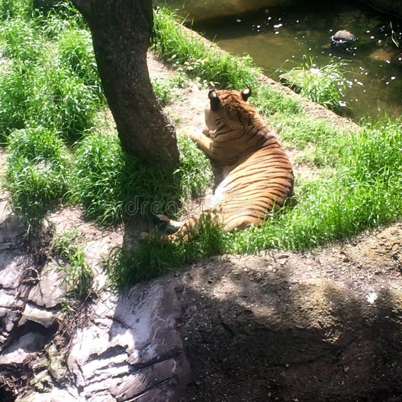 tigrar royaltyfri bild