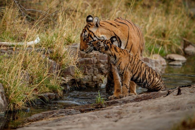 Tigrar i naturlivsmiljön Tigrar fostrar och gröngölingar som vilar nära vattnet royaltyfri fotografi