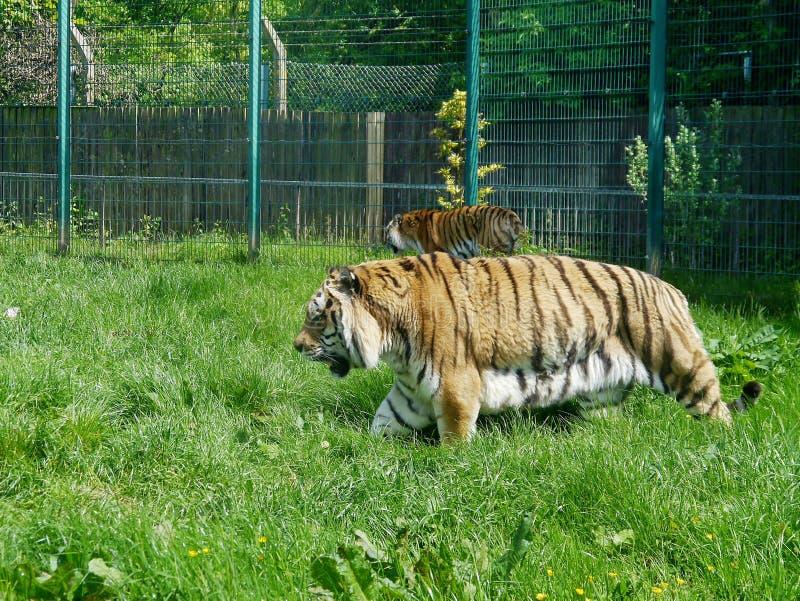 Tigrar i zoosammansättning royaltyfria foton
