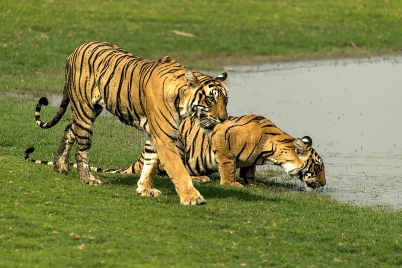 Tigrar på den Ranthambore nationalparken arkivbilder
