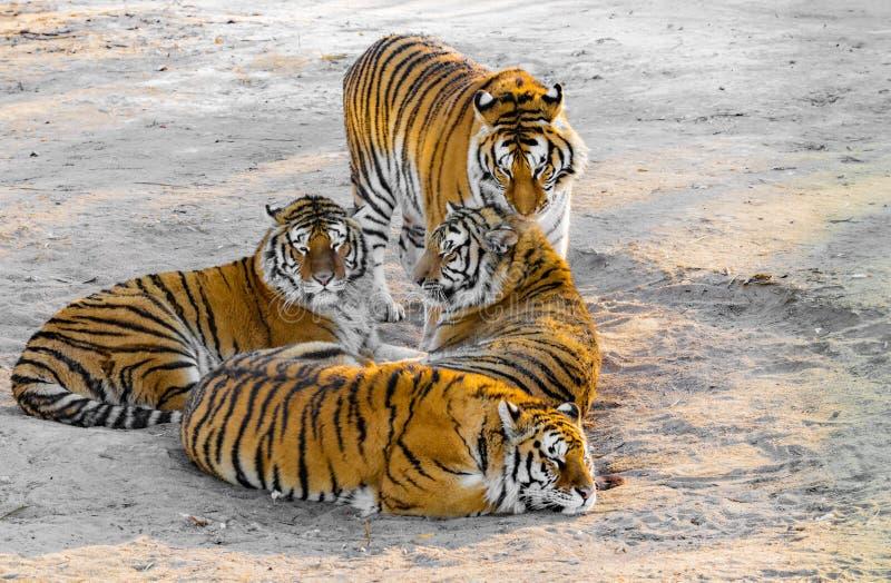 Tigrar på vägen royaltyfria foton