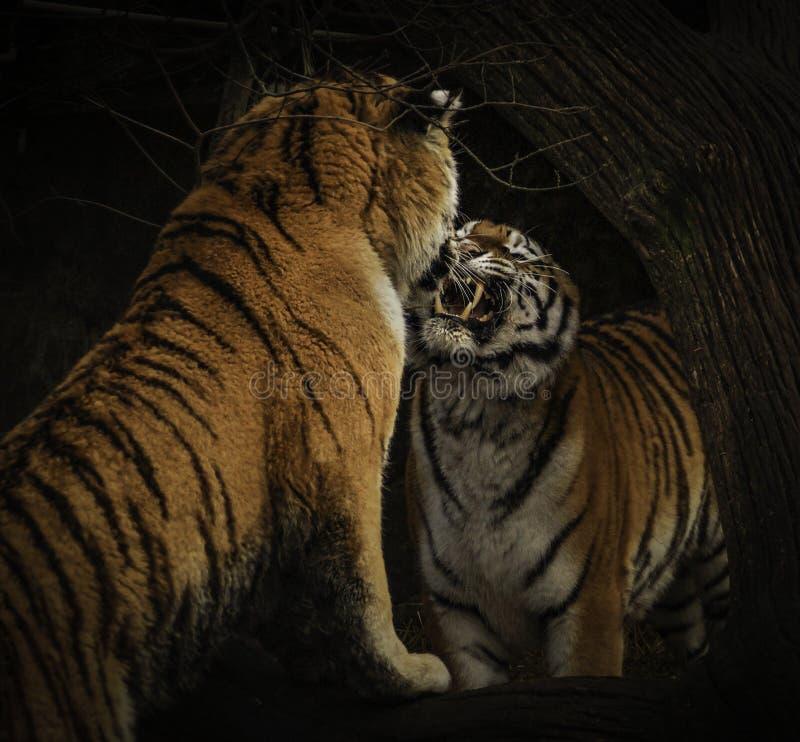 Tigrar som slåss med svart bakgrund royaltyfria bilder