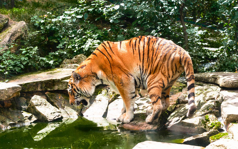 Tigre à l'eau dans le jour d'été chaud images libres de droits