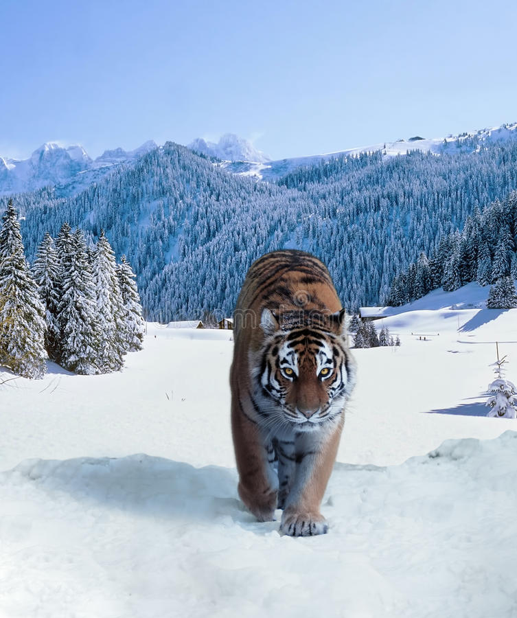 Tigre à la photo d'étranger de montagnes de neige image stock