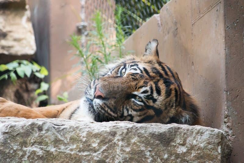 Tigre étant paresseux images stock