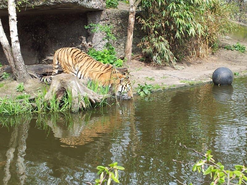 Download Tigre foto de archivo. Imagen de gato, vida, bebida - 100533378
