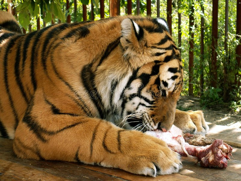 Tigre immagini stock libere da diritti