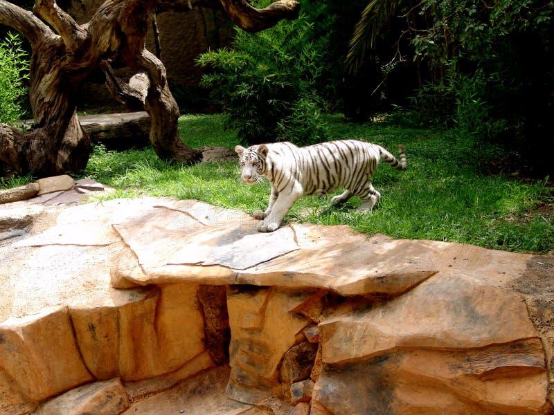 Download Tigre fotografia stock. Immagine di tigre, bianco, distensione - 218276