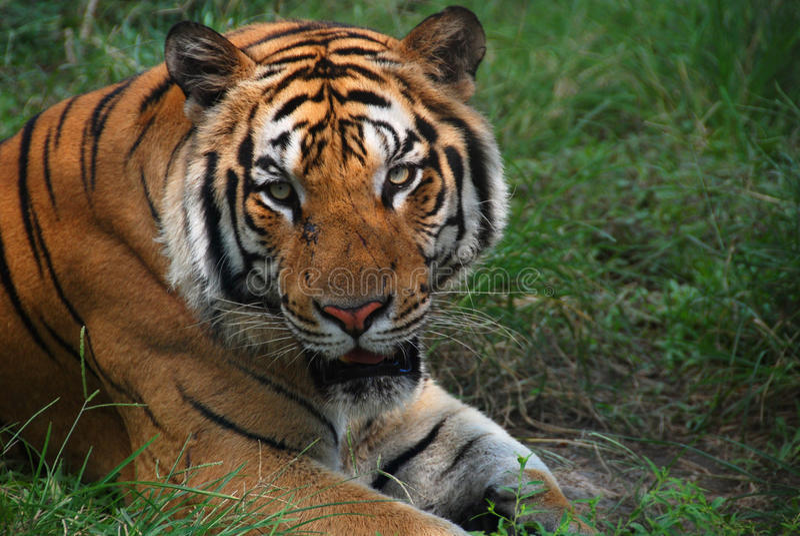 Tigre photographie stock