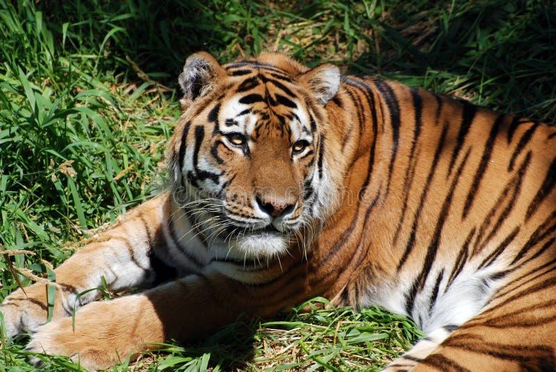 Tigre 3 imagen de archivo