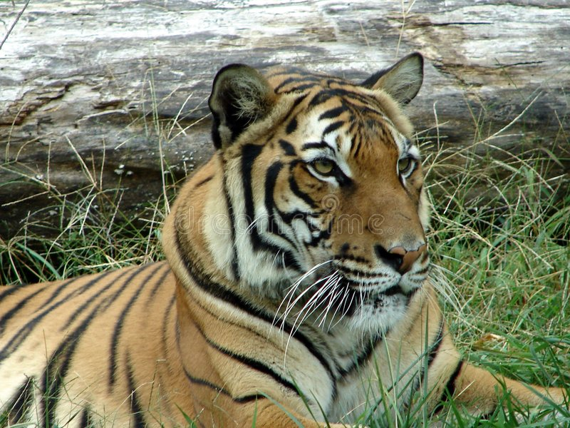 Tigre immagini stock