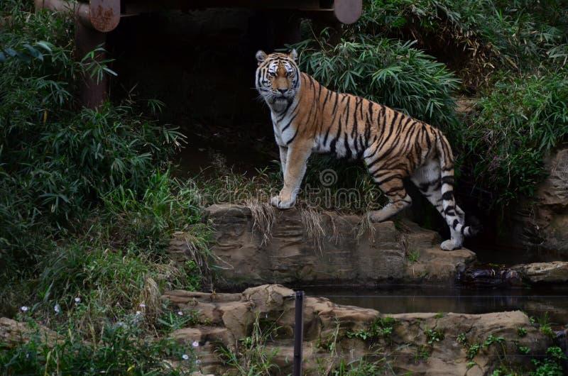 Tigre immagine stock
