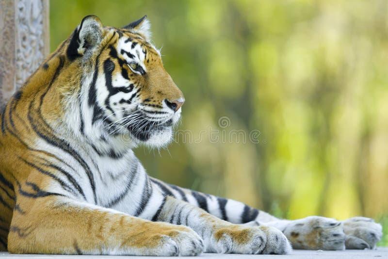 Tigre de descanso imagens de stock royalty free