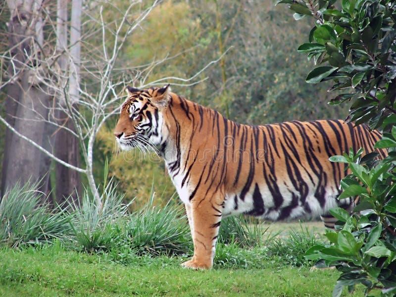 Download Tigre imagem de stock. Imagem de potência, wildlife, majestoso - 539235