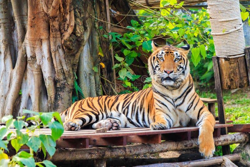 Download Tigre immagine stock. Immagine di thailand, arancione - 55361623