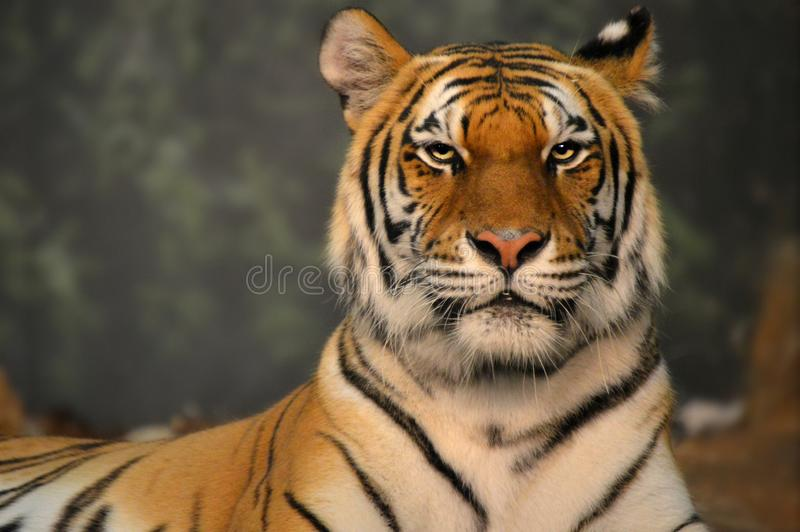 Tigre fotos de stock royalty free