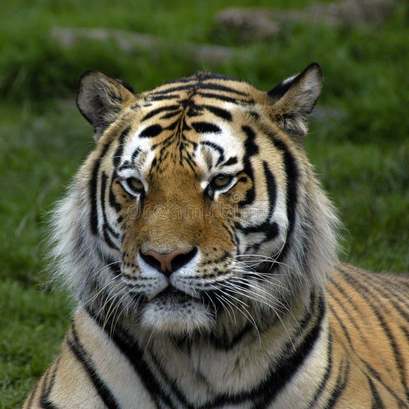 Download Tigre photo stock. Image du faune, sauvage, favoris, raie - 745510