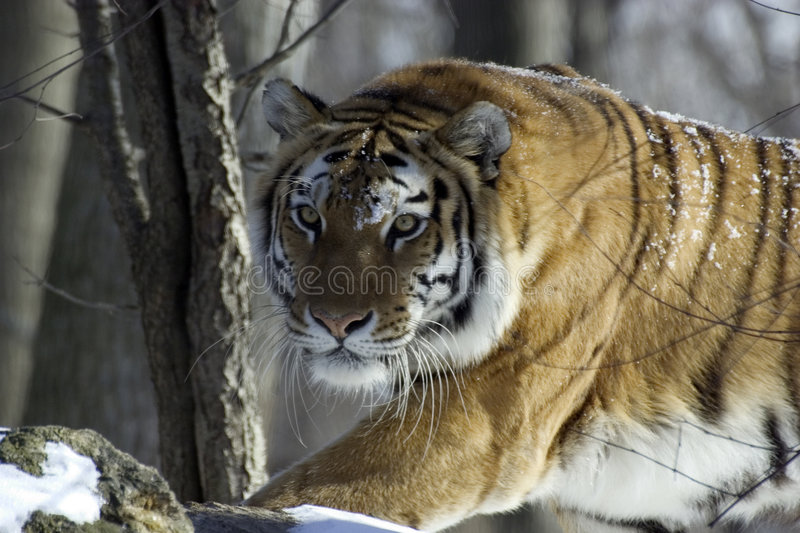 Download Tigre immagine stock. Immagine di inseguimento, foresta - 84829