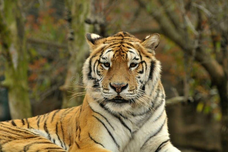 Tigre photo stock