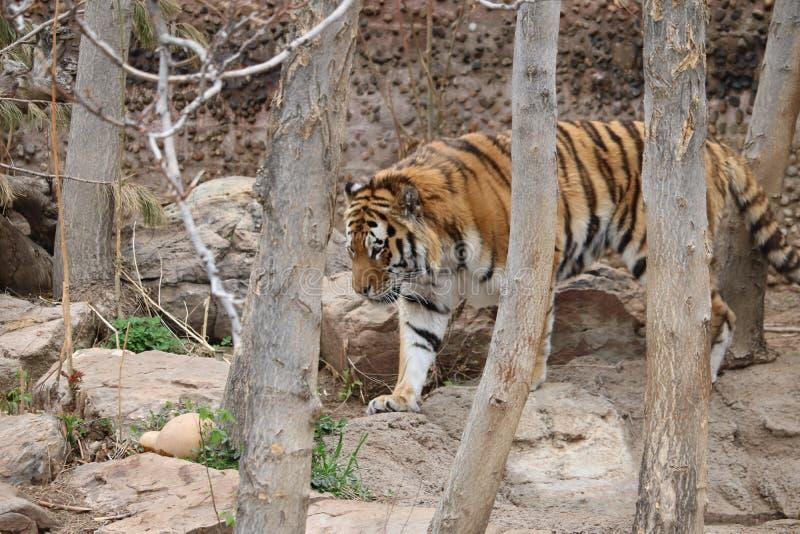 Tigre 2 foto de archivo libre de regalías