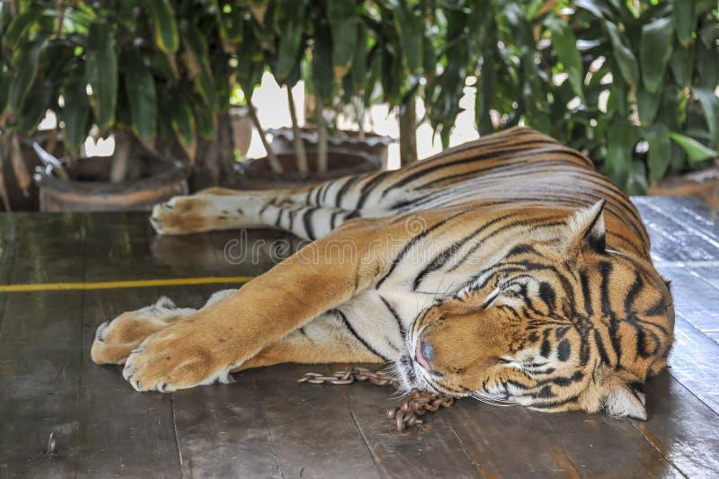 Tigre acorrentado fotos de stock