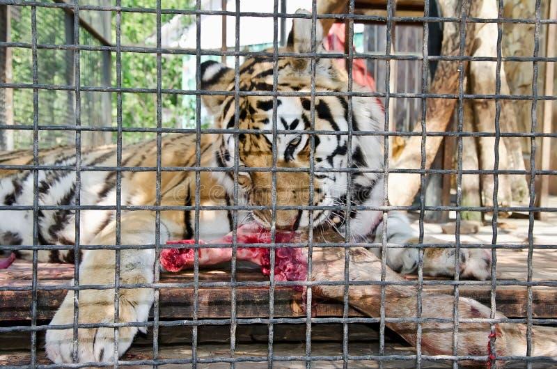 Tigre adentro enjaulado en el parque zoológico de Yalta imágenes de archivo libres de regalías