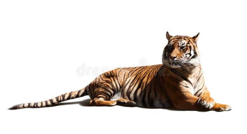 Tigre adulto foto de stock