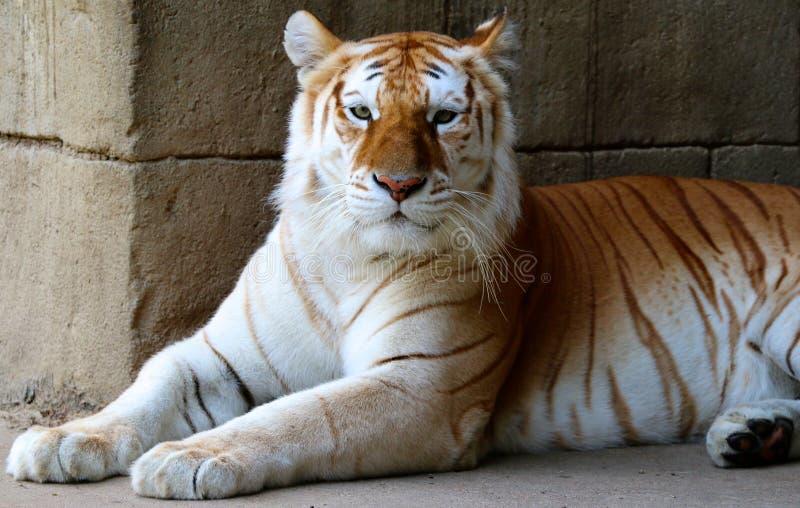 Tigre adulto majestuoso fotos de archivo