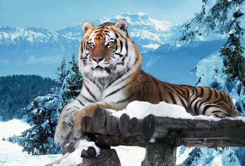 Tigre alle montagne della neve che pongono al legno fotografia stock libera da diritti